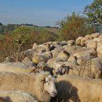 schapen bijeen