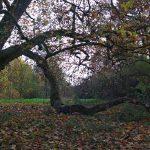 oude Plataanboom