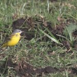 geel vogeltje