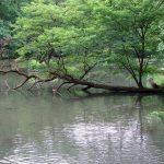 meerboom